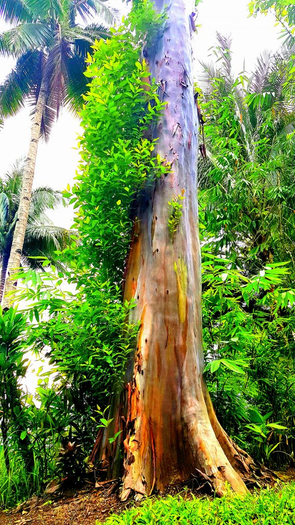 rainbow tree camiguin